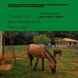 Cavalo Marchador e Potranca!!!