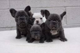 Bulldog Francês lindo filhote disponível