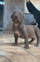 Filhotes de Pitbull Monster e American Bully