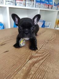 Fofura de bulldog francês