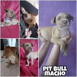 Pitbull macho filhote