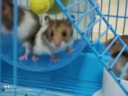 Hamster Sírio super docies com 26 dias