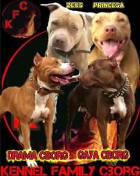 Filhotes de American Pit Bull Terrier à venda.