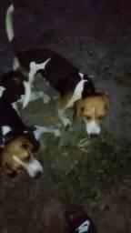 Vendor filhote da raça beagle