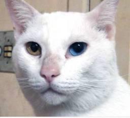 Adoto gato branco