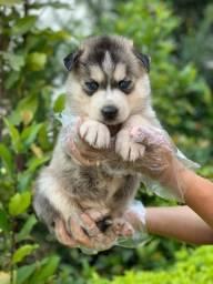 Husky Siberiano entrega imediata em lojas