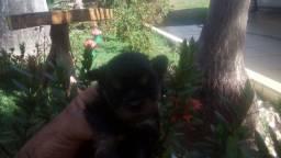 Filhotes de YORKshaire terrier anão de bolsa