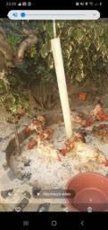 Vendo galos e galinhas caipira