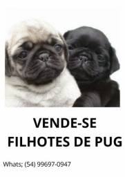 VENDO LINDOS FILHOTES MACHOS DE PUG