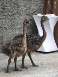Casal de avestruz