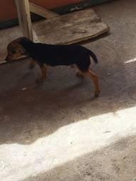 Cachorro pincher ( filhote)