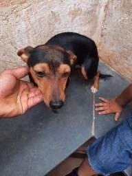 Doação de Cachorro (Pinscher)