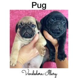 Pug com pedigree e microchip em até 12x