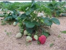 Título do anúncio: mudas de morangos organicos whats 99686-45-03