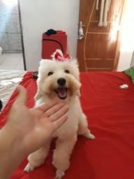 Poodle toy fêmea disponível para cruza