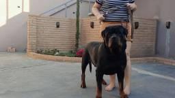 Título do anúncio: Rottweiler