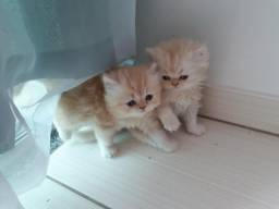 Filhotes de gato persa