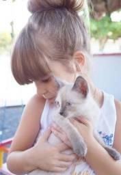 Doação de gatinha siamês