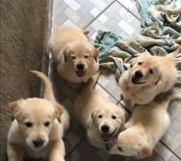 Golden retriever pedigree garantia de saude