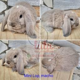 Mini Lop - mini coelho