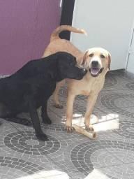 Labrador puro a procura de uma namorada pra reproduzir