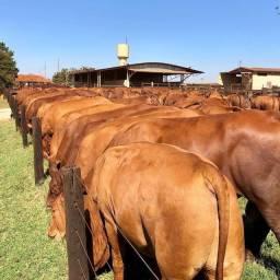 Senepol PO (Novilhas e Vacas prenhas) Super genética -R$ 9.000 em 12x -