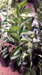 Muda de limão Taiti, China e mexerica Pokan