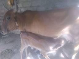 Vendo vaca