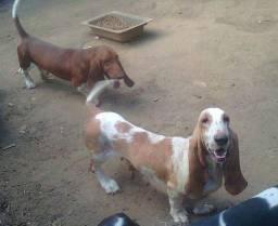 Matriz basset hound