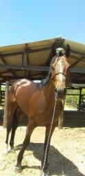 Cavalo PSI ( Puro Sangue Inglês)
