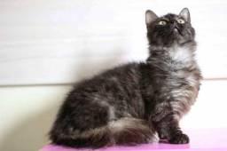 Munchkin - gato anão com registro