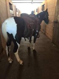 Paint horse team roping laçando cabeça
