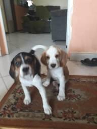 Beagle , bicolor e tricolor