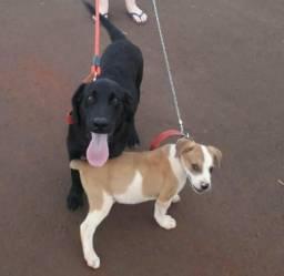 Labrador preto vacinado e vermifugado