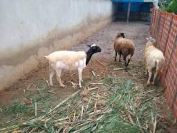 Ovelhas , carneiro