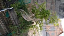 Bonsai de Primavera Bougainville