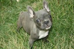 Bulldog francês azul