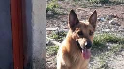 Vende cachorra pastor alemão