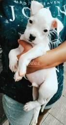 Boxer macho albino
