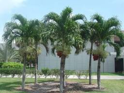 Palmeira Melina ( natalina) mudinhas bebês.
