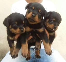 Cão Ideal Para Sua Segurança E De Sua Família Chame Canil Império E Garanta Seu Rottweiler