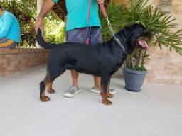 Rottweiler com pedigree disponível para acasalamento