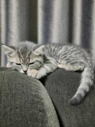 Filhotes de gatos british shorthair