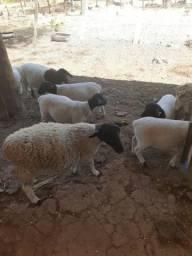Ovelhas e carneiros, Preço à Combinar