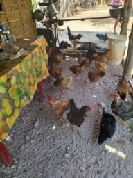 Vendo galinha caipira