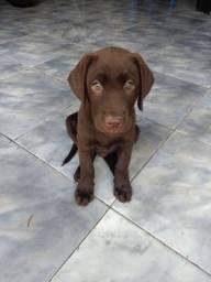Cachorro labrador ( filhote)