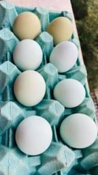 Ovos Azuis Galados - galinhas poedeiras