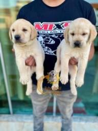 Filhotes de Labrador os melhores