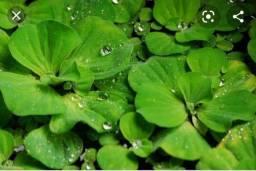 Planta aquática para aquários