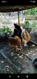 Galinhas e frangos a venda!!!!